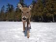 deer while fishing - Big Island Landing, Manitoba Canada