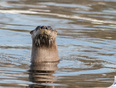 River Otter on the Mattagami River Yesterday Afternoon - Timmins, Ontario Canada