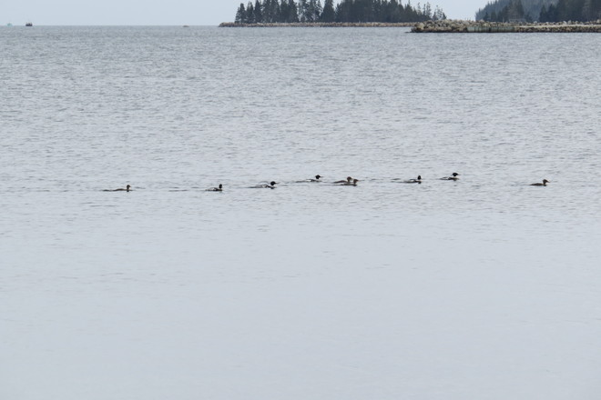 9 Diving Ducks A Swimming :) Chester, Nova Scotia Canada
