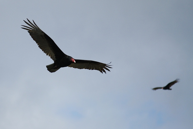 Turkey Vultures King, Ontario Canada