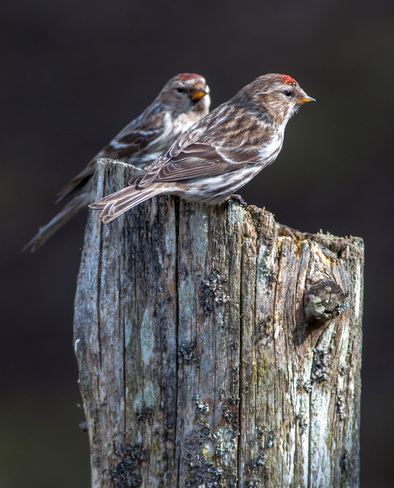 Pair of Redpolls on A Pole