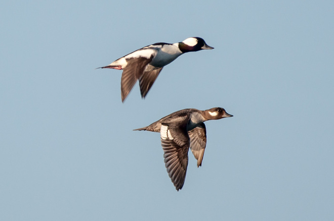 Buffleheads in Flight
