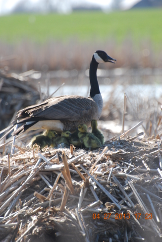 Mother Goose and babies Union, Ontario Canada