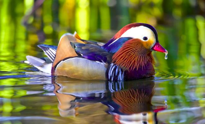 All these colors - Mandarin Duck De Saint-Just, Quebec Canada