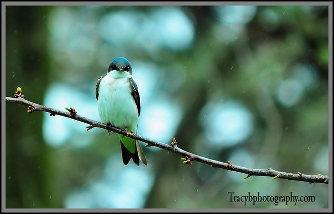 Beautiful Tree swallow Port Dover, Ontario Canada