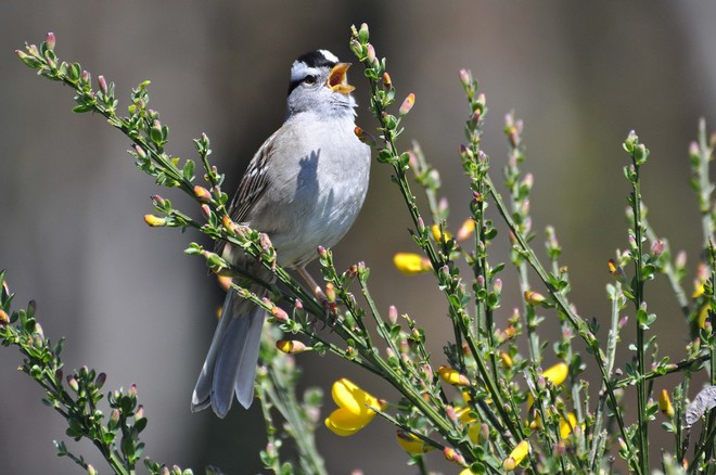 White Crowned Sparrow Victoria, British Columbia Canada