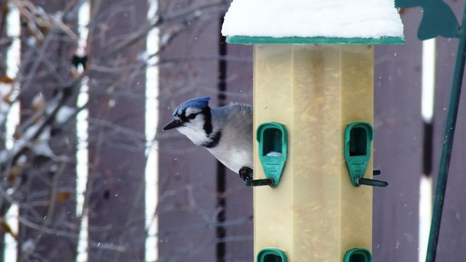 Blue Jay at the Feeder Leduc, Alberta Canada