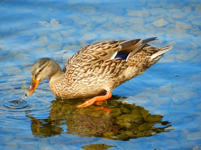 Female Mallard Foraging