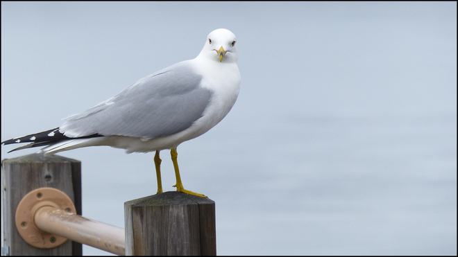 Gull sitting for a portrait. Elliot Lake, Ontario Canada