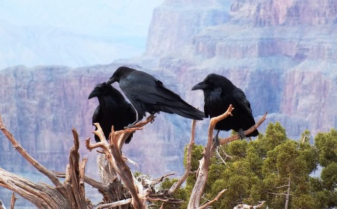 Crows at the West Rim Boulder City, Nevada United States