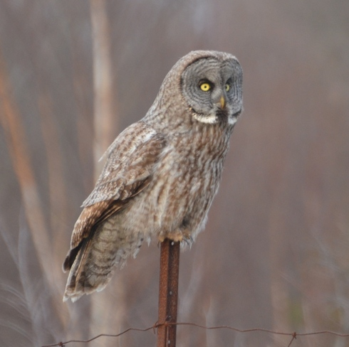 The Great Grey Owl Place-des-Îles, Quebec Canada