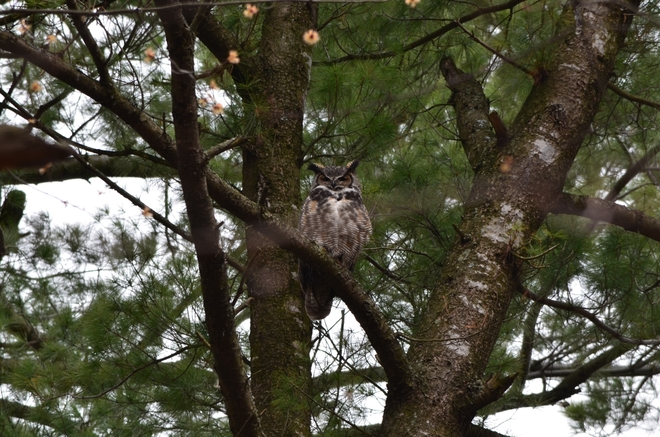 Great Horned Owl Ottawa, Ontario Canada