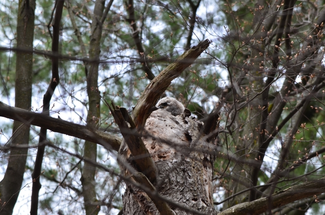 Great Horned Owlet Ottawa, Ontario Canada