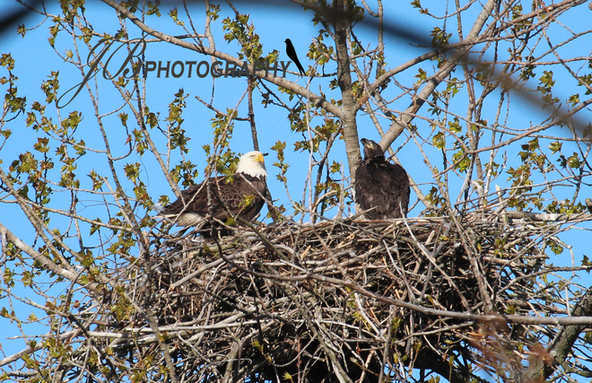 Female Bald Eagle & her young