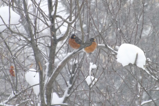 Robins in the snow Dauphin, Manitoba Canada