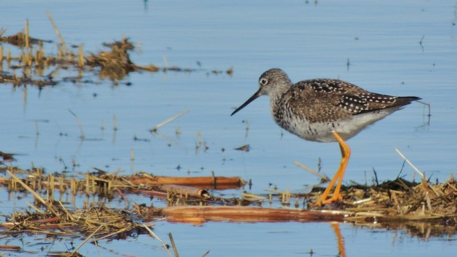 Greater Yellowlegs Regina, Saskatchewan Canada