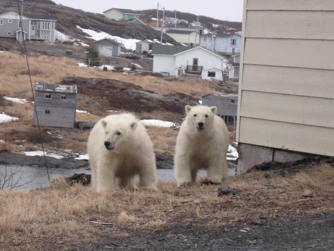 Two Young Polar Bears (in St. Lunaire-Griquet, NL) Saint Andrews (not available), New Brunswick Canada