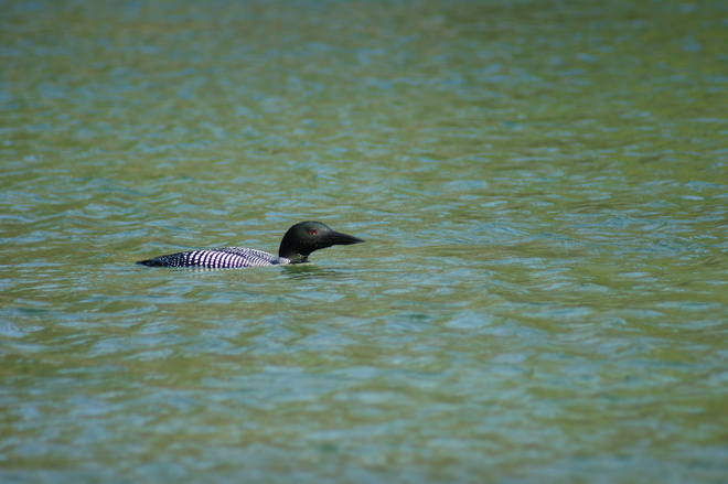 the Loons have returned! Washago, Ontario Canada