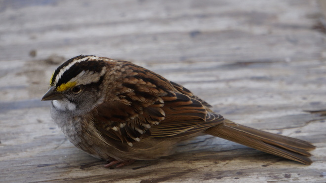 White throated sparrow Komoka, Ontario Canada