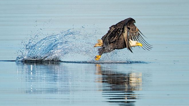 Eagle catches fish Vancouver, British Columbia Canada