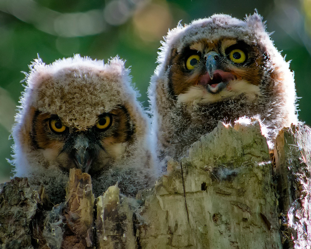 Great horned owl chicks Ottawa, Ontario Canada