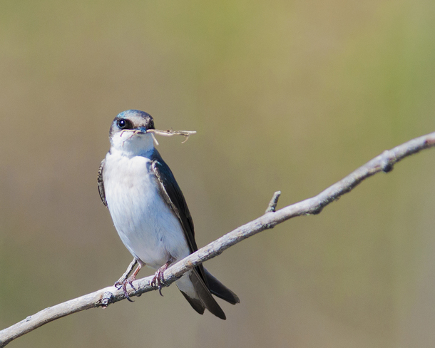 Tree Swallow bringing in nesting material