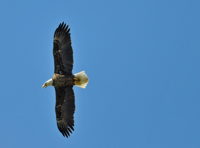 Bald Eagle St. Marys, Ontario Canada
