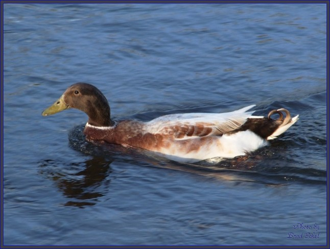 In the duck park... Simcoe, Ontario Canada