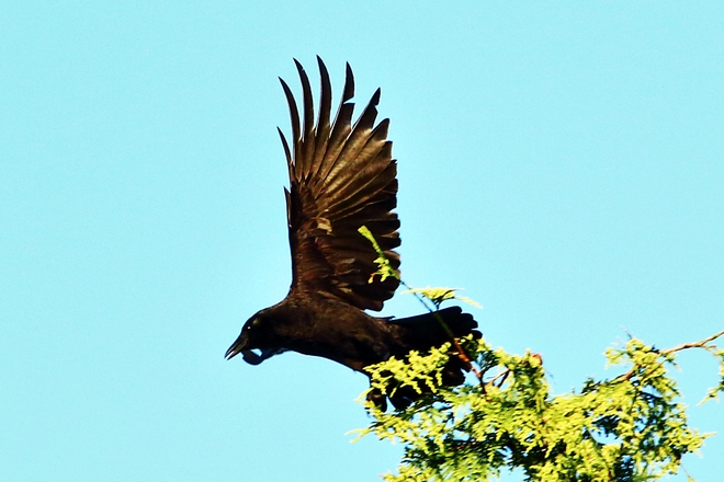 Crow in flight Surrey, British Columbia Canada