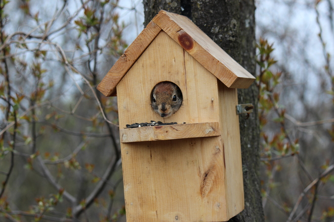Squirrel in Bird House Sault Ste. Marie, Ontario Canada