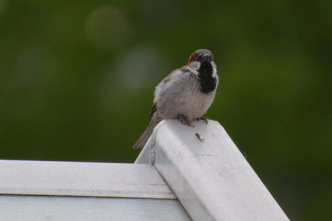 House Sparrow On Roof