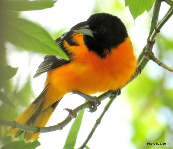 Baltimore Oriole Kitchener, Ontario Canada