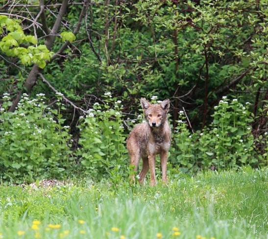 Coyote in Town Wheatlands No. 163, Saskatchewan Canada