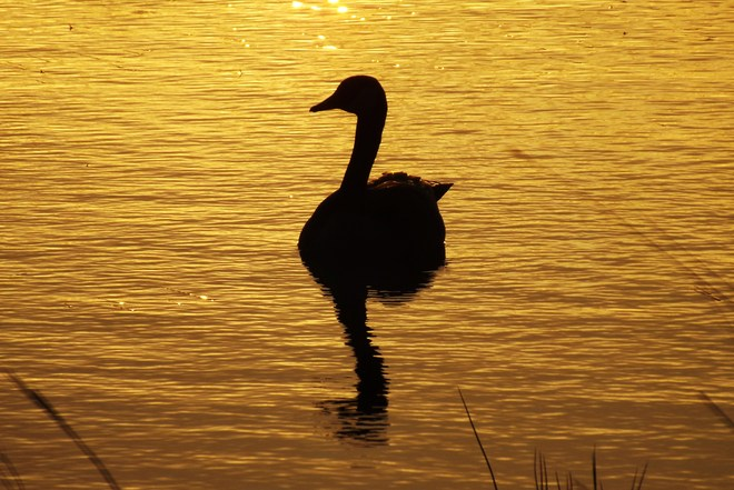 sunrise goose Kenaston, Saskatchewan Canada