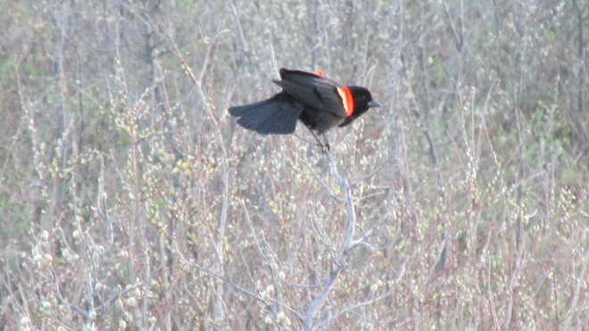 Red Winged Blackbird Calgary, Alberta Canada