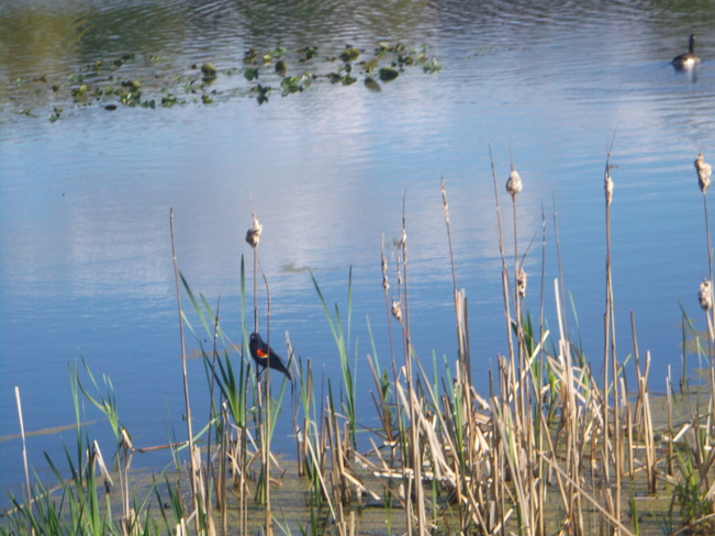 Red Wing Black Bird Sitting at a Pond