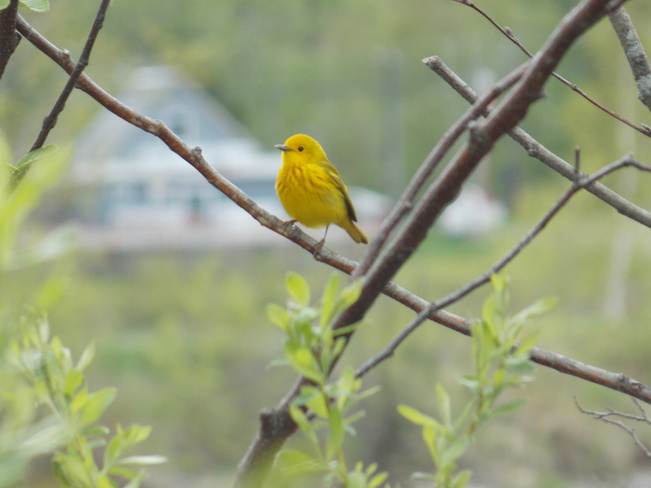 Yellow Warbler Woodstock, New Brunswick Canada