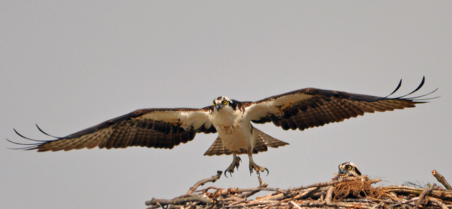 Osprey taking off London, Ontario Canada