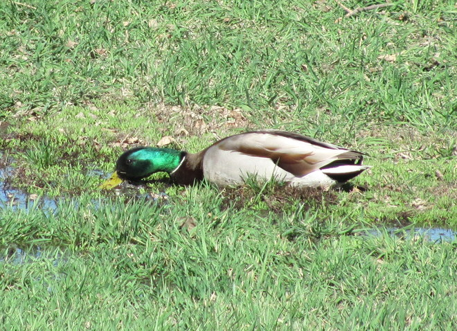 Mallard at the Park Brandon, Manitoba Canada