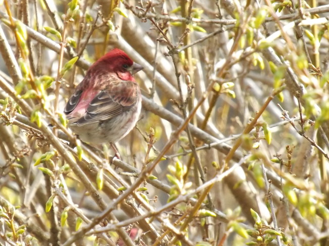 purple finch in my forsythia Greenwood, Nova Scotia Canada
