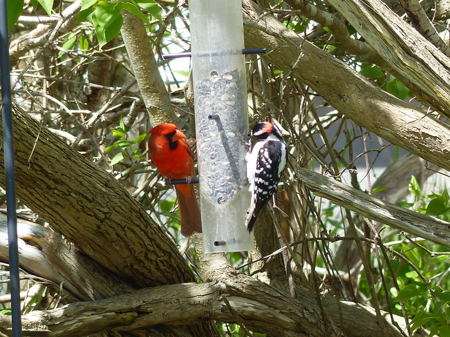 Cardinal and woodpecker Shelburne, Nova Scotia Canada