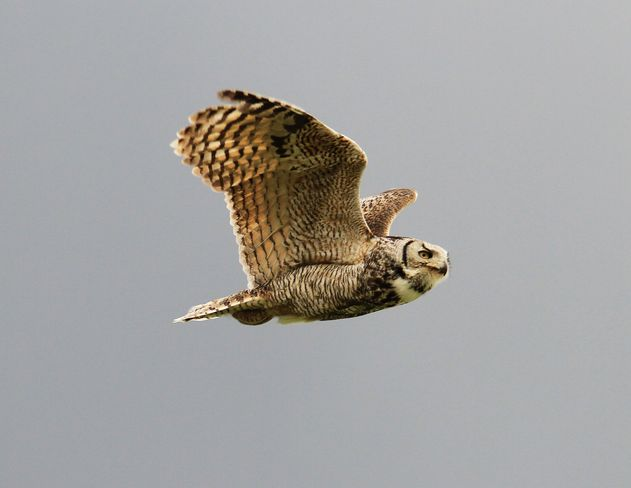 owl inflight Brooks, Alberta Canada