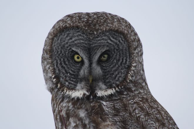 Great Grey Owl Temiskaming Shores, Ontario Canada
