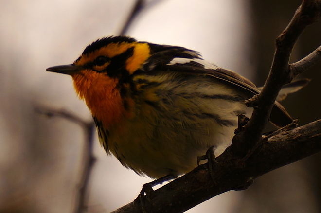 Blackburnian Warbler Point Pelee, Ontario Canada