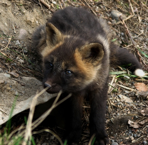 Brave Fox Pup Prince George, British Columbia Canada
