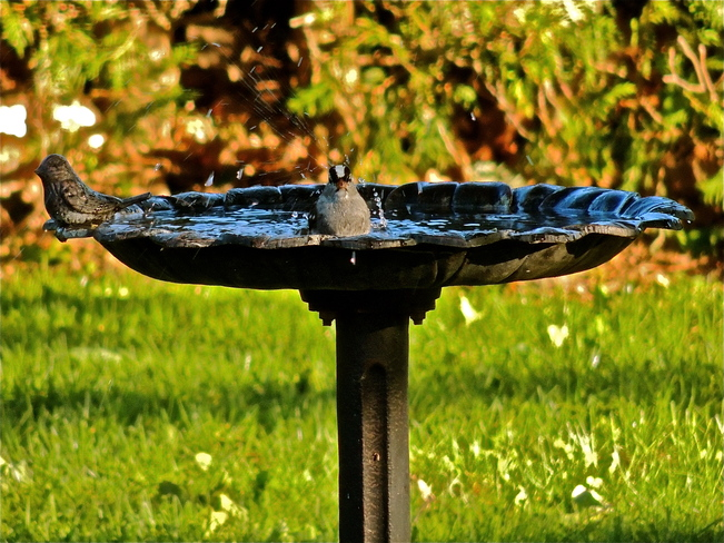 White-crowned Sparrow Bathing. Port Perry, Ontario Canada