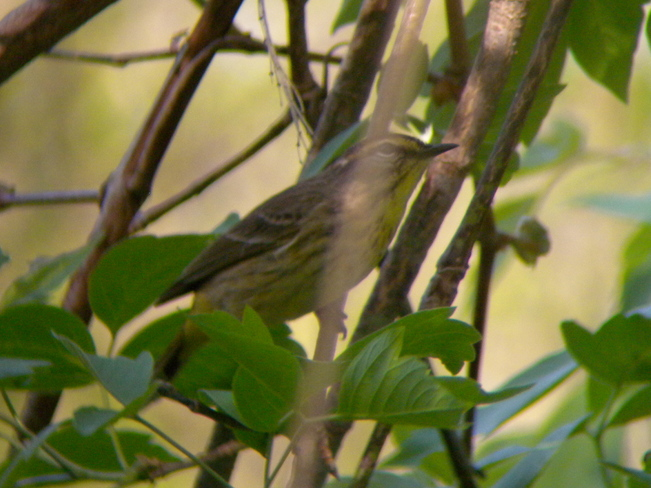 Palm Warbler Jarvis, Ontario Canada