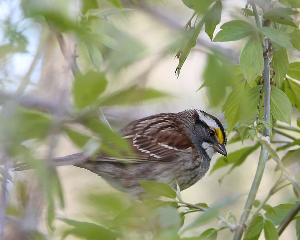 White-throated Sparrow Brighton, Ontario Canada