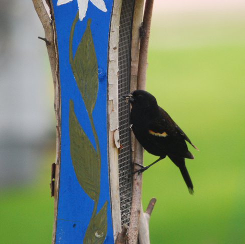 Red-winged Blackbird ... Moncton, New Brunswick Canada