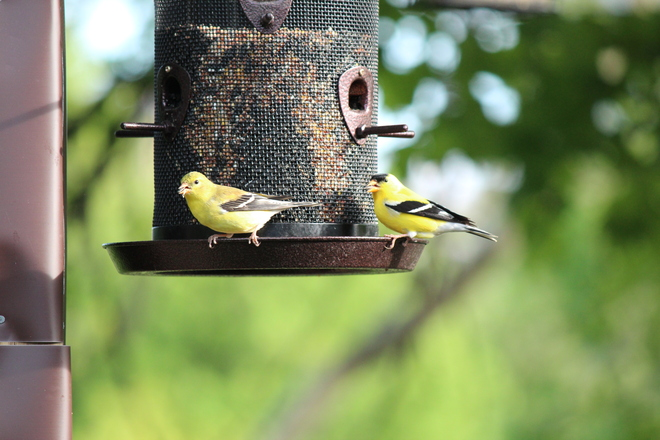 American Goldfinches East York, Ontario Canada
